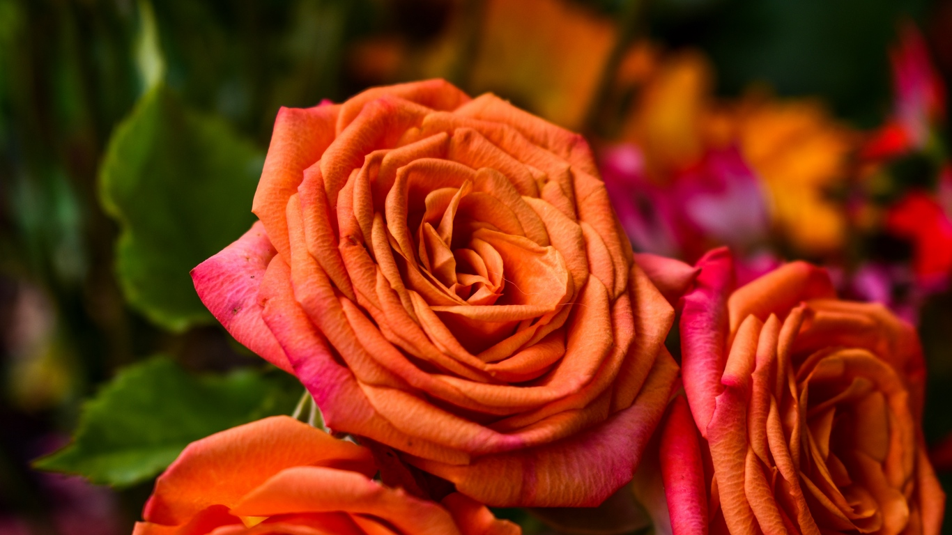 Beautiful Rose Flowers Images 11