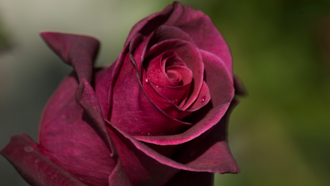 Beautiful Rose Flowers Images 14