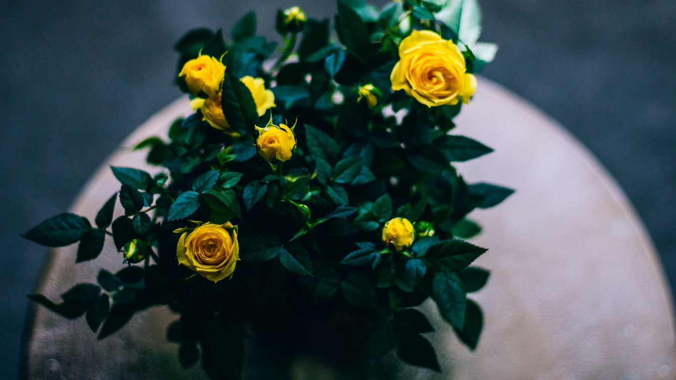 Beautiful Rose Flowers Images 8