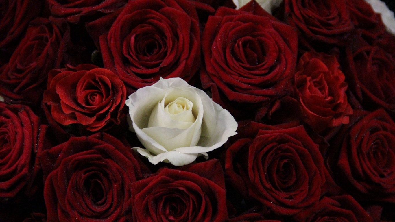 Love rose flower photos images free download 10