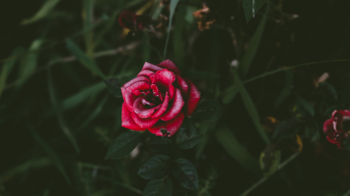 Love rose flower photos images free download 3