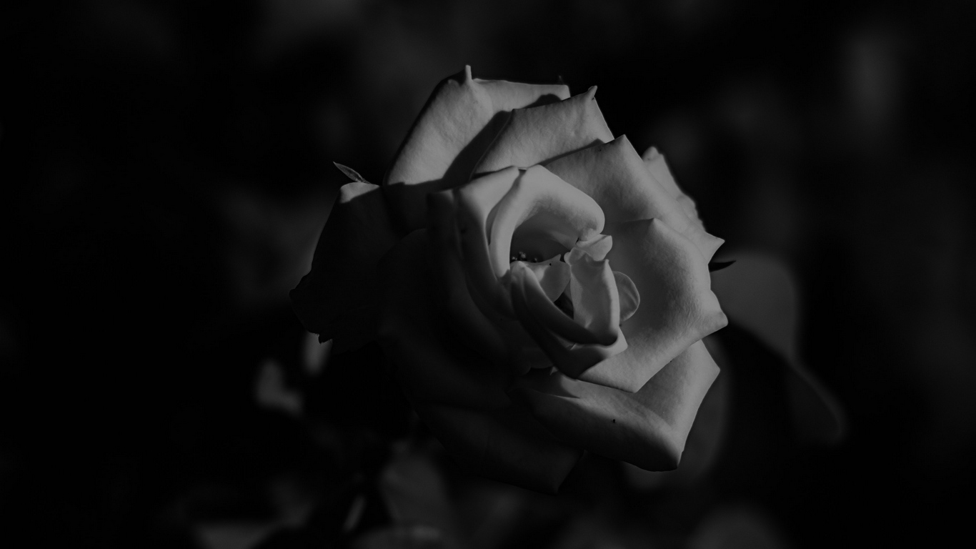 Love rose flower photos images free download 4