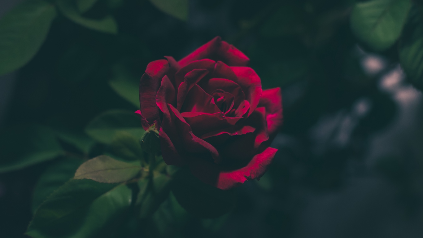 Love rose flower photos images free download 5