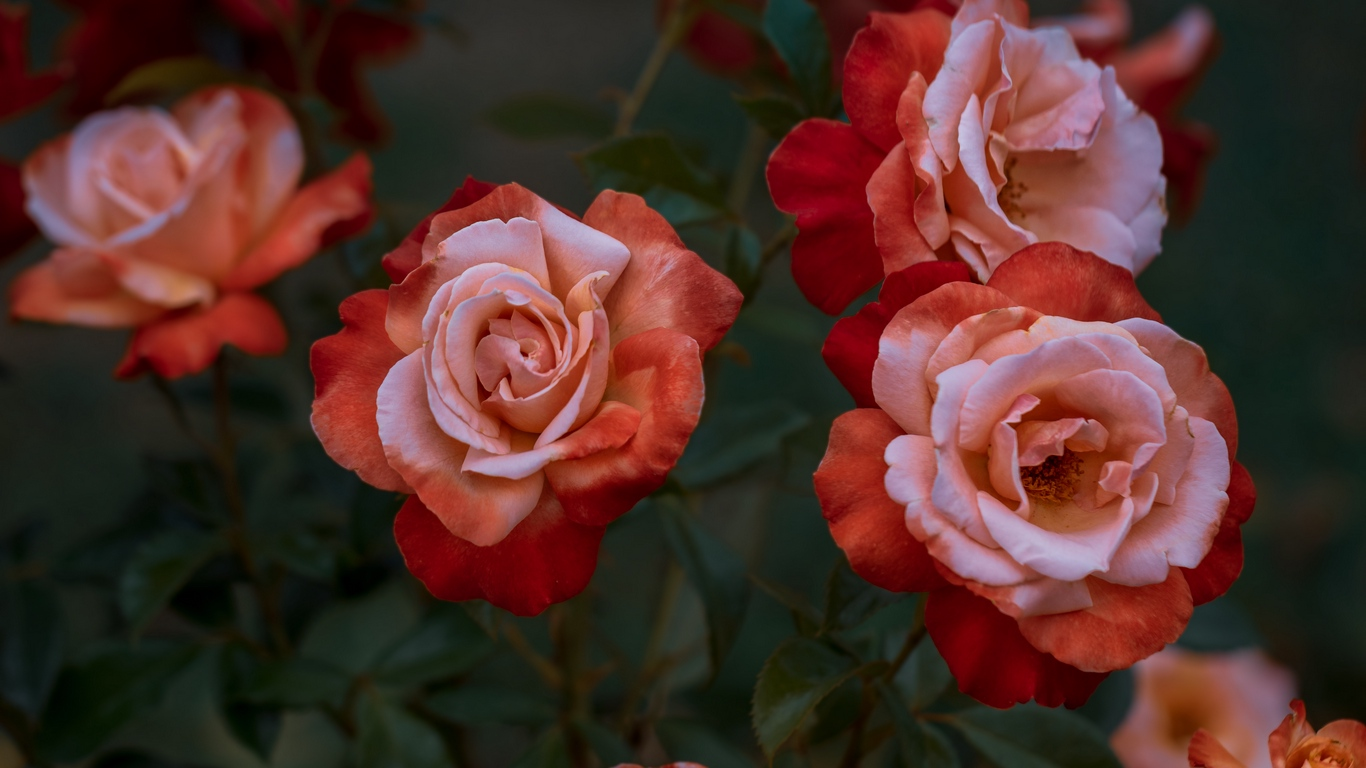 beautiful rose love images for mobile 1