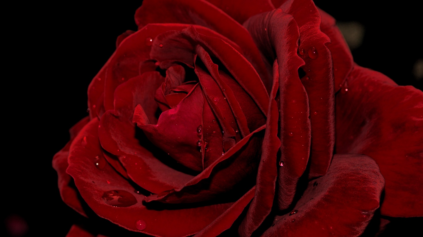 beautiful rose love images for mobile 2