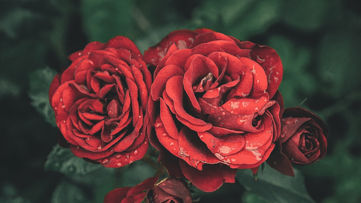 beautiful rose love images for mobile 3 1
