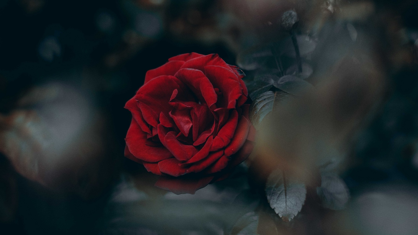 red rose love images hd download 4