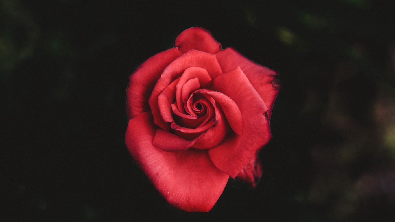 red rose love images hd download 5