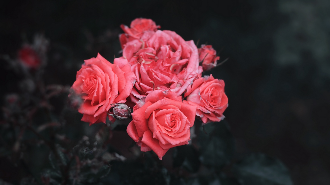 red rose love images hd download 7