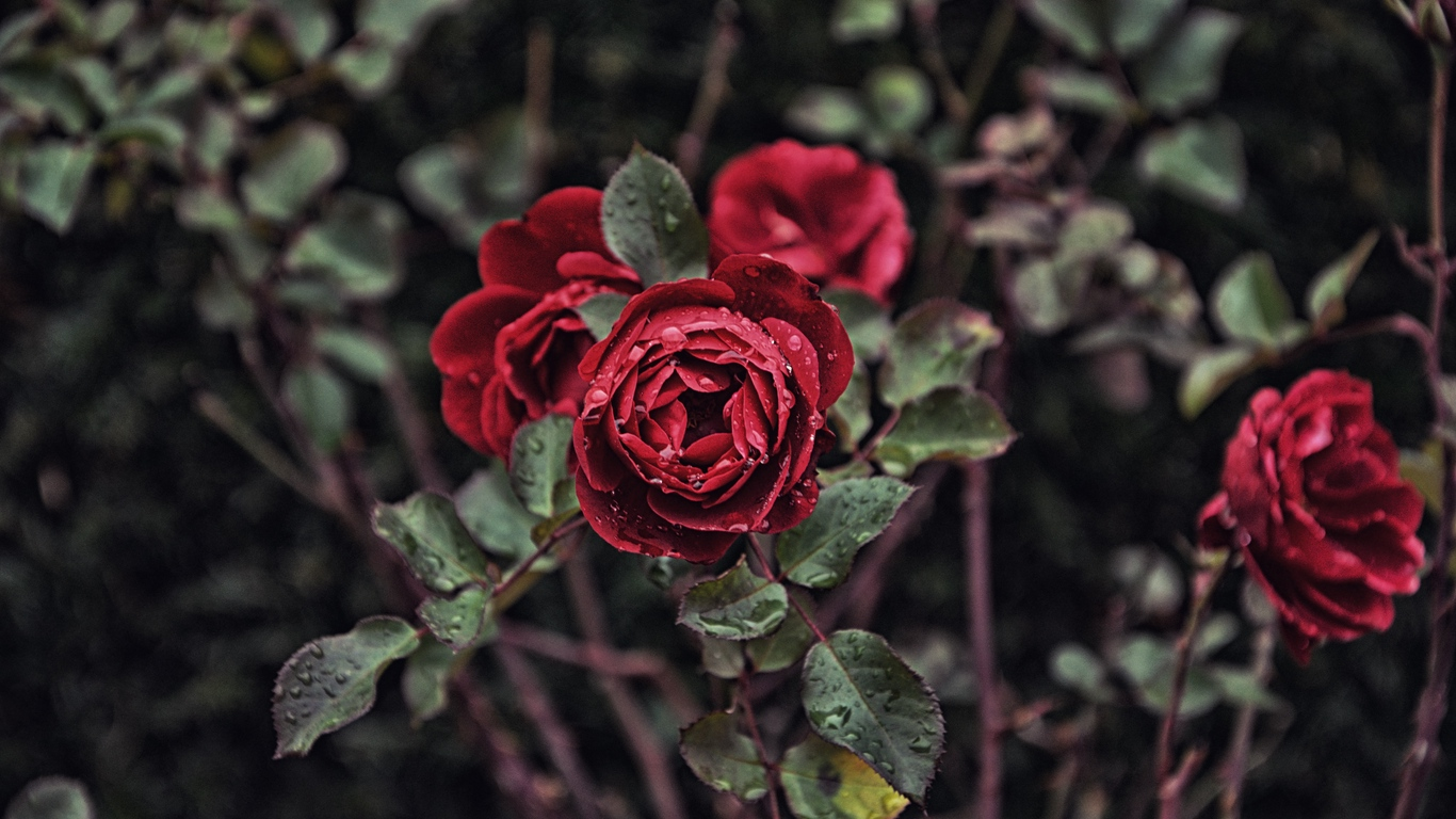 rose images with love for you 1