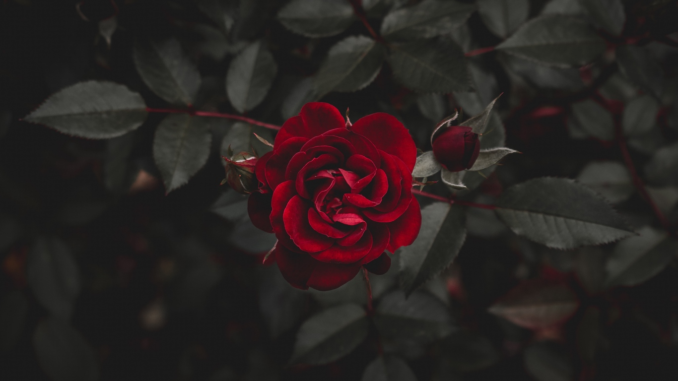 rose images with love for you 5