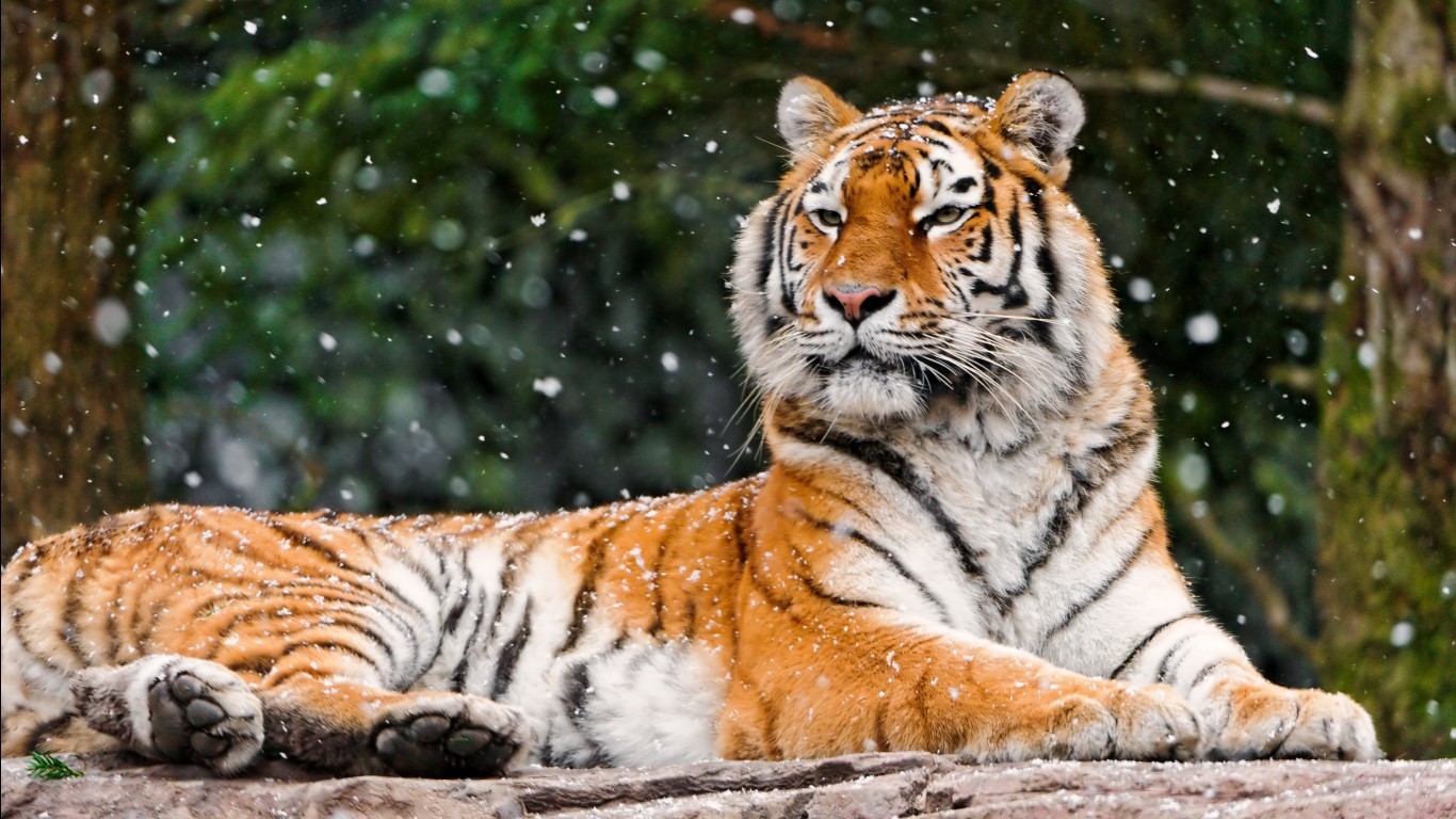 Bengal tiger hd images wallpapers 1
