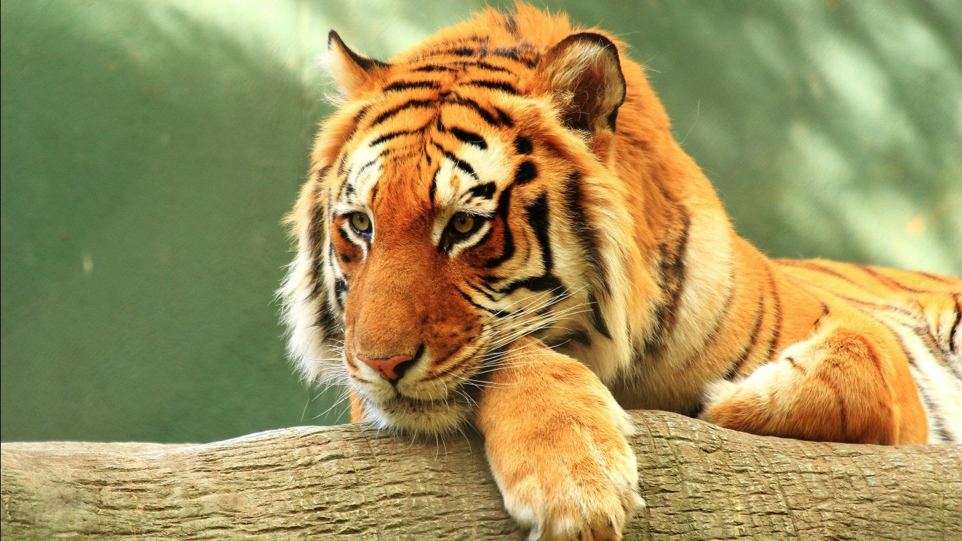 Bengal tiger hd images wallpapers 10