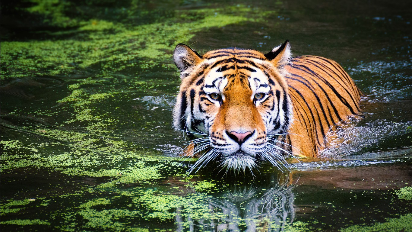 Bengal tiger hd images wallpapers 11