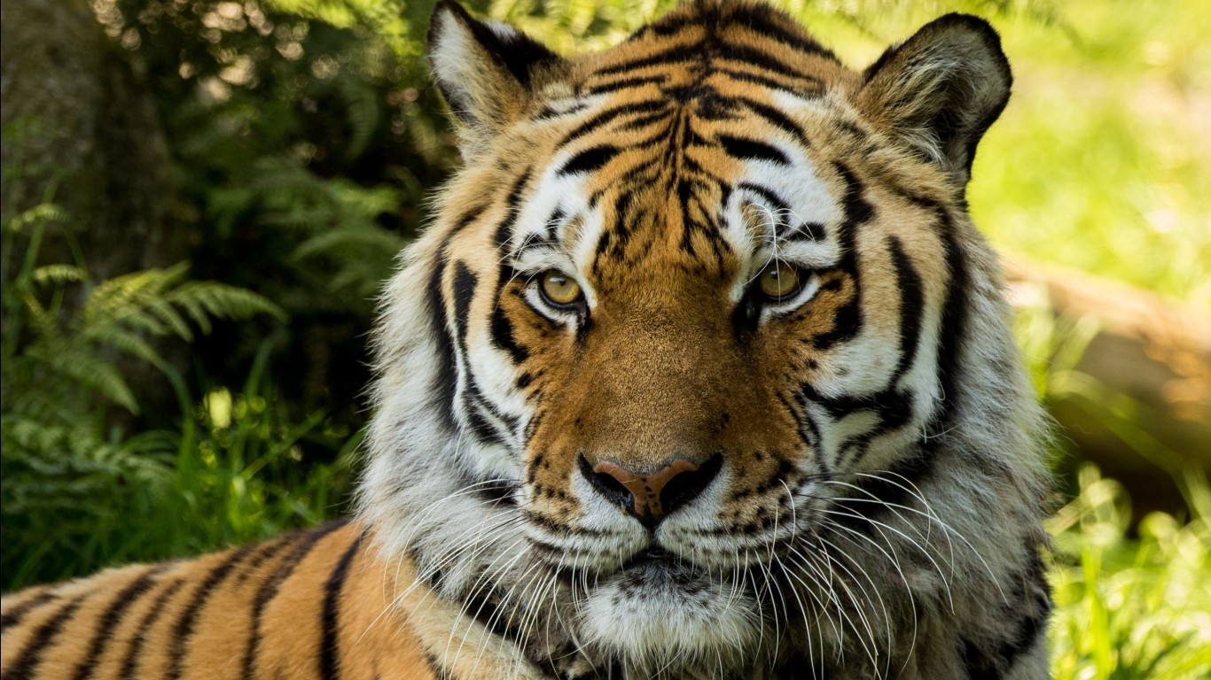 Bengal tiger hd images wallpapers 12