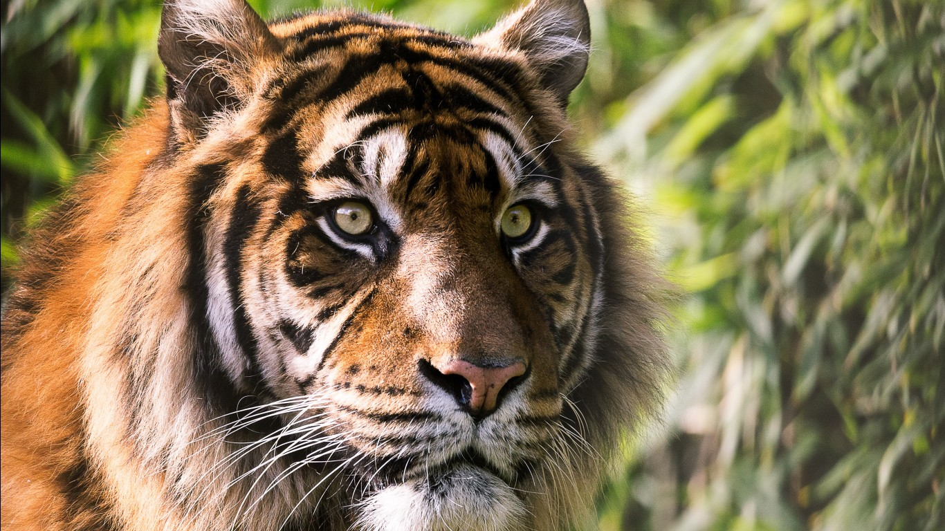 Bengal tiger hd images wallpapers 15