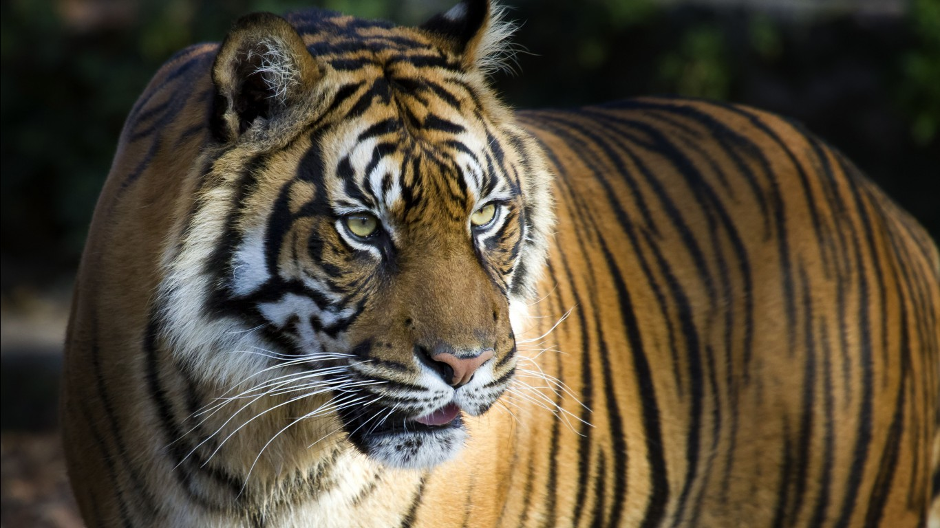 Bengal tiger hd images wallpapers 16