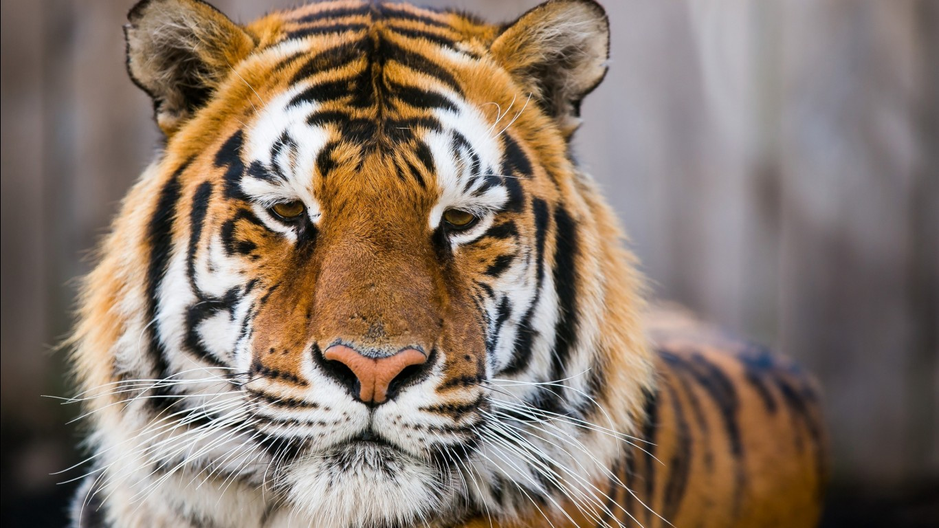 Bengal tiger hd images wallpapers 17