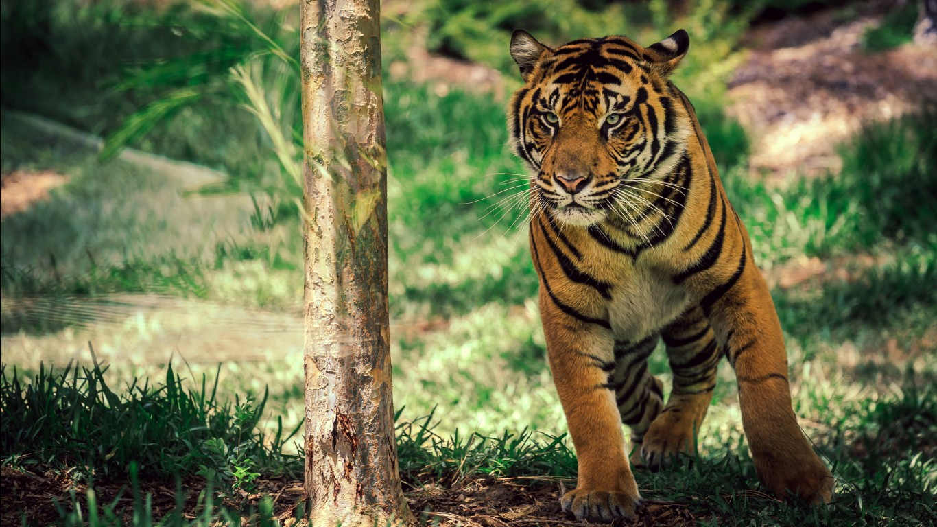 Bengal tiger hd images wallpapers 18