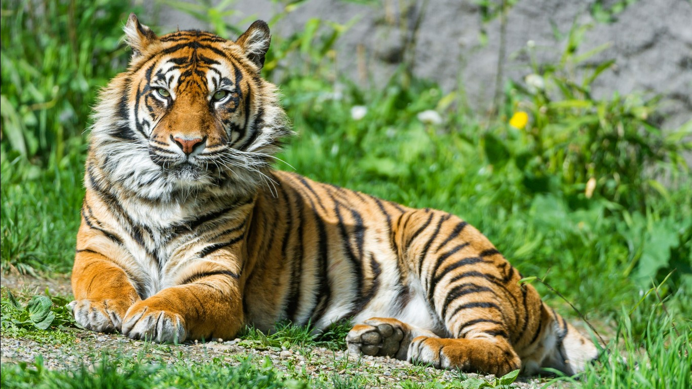 Bengal tiger hd images wallpapers 19