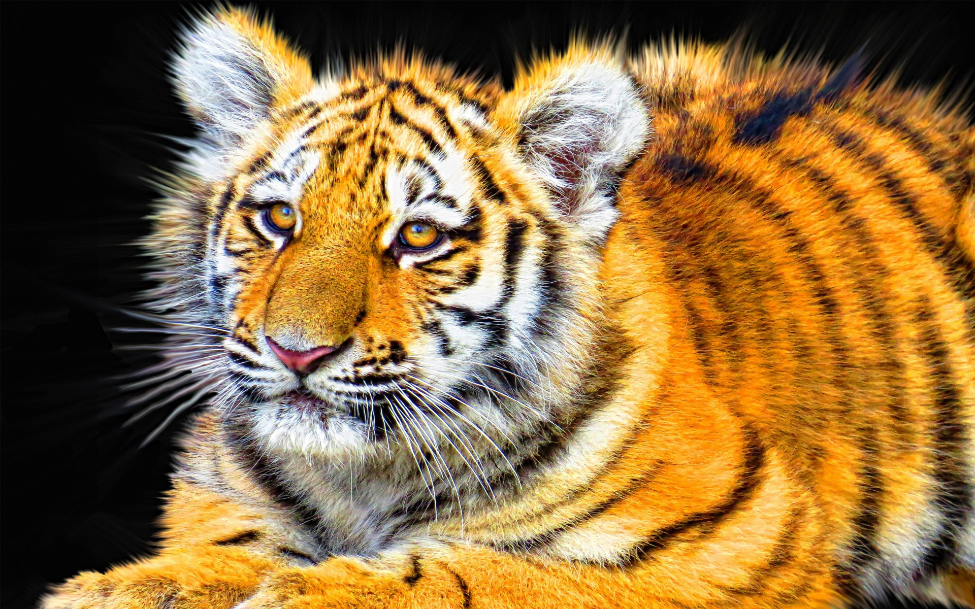 Bengal tiger hd images wallpapers 20