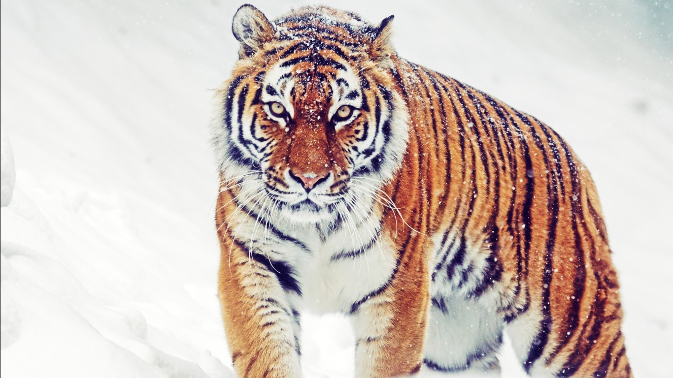 Bengal tiger hd images wallpapers 3