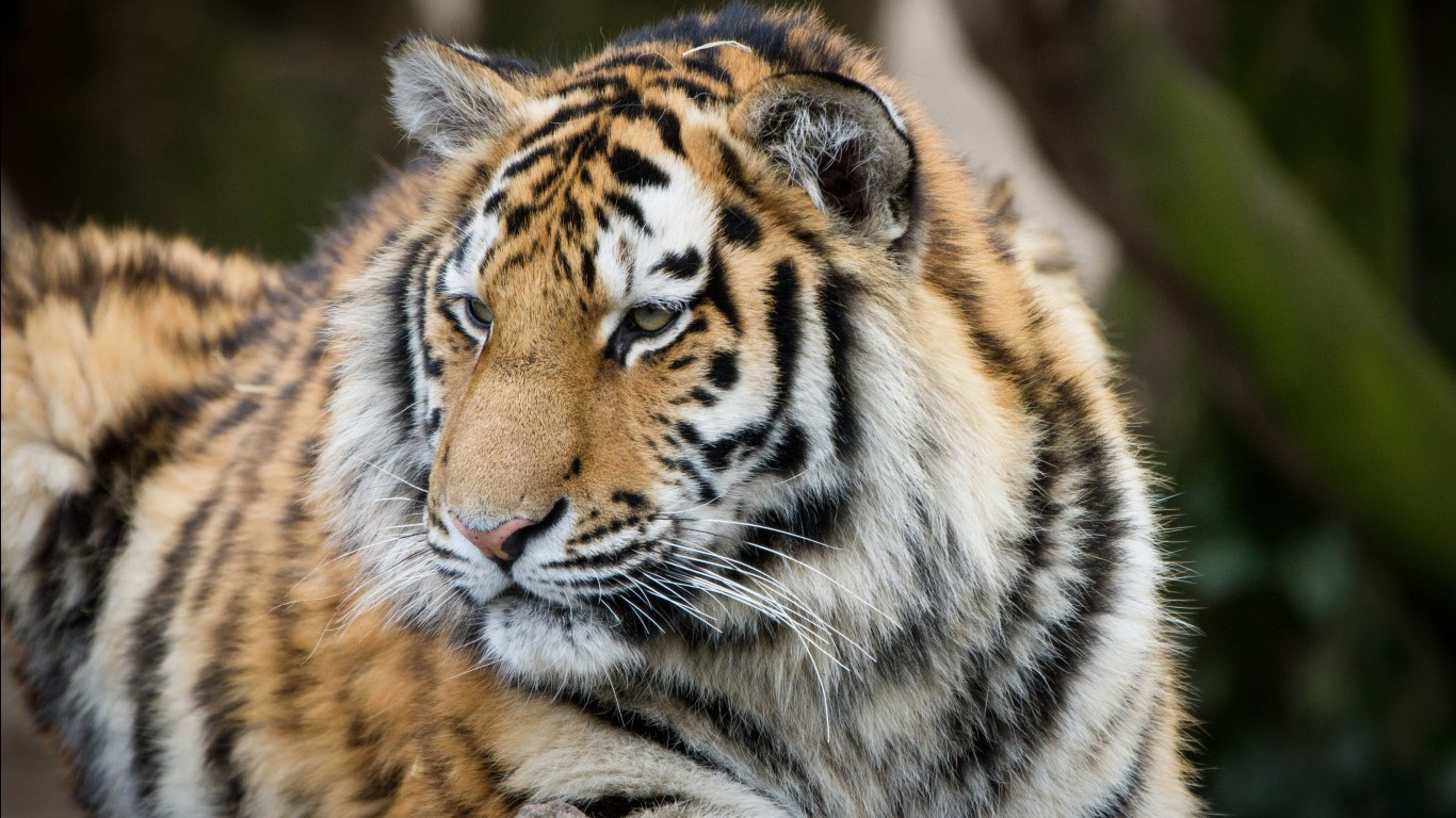 Bengal tiger hd images wallpapers 4