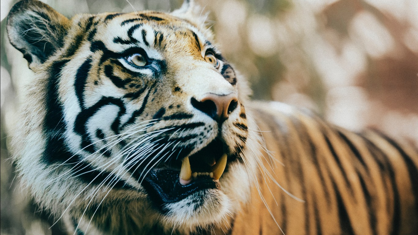 Bengal tiger hd images wallpapers 5