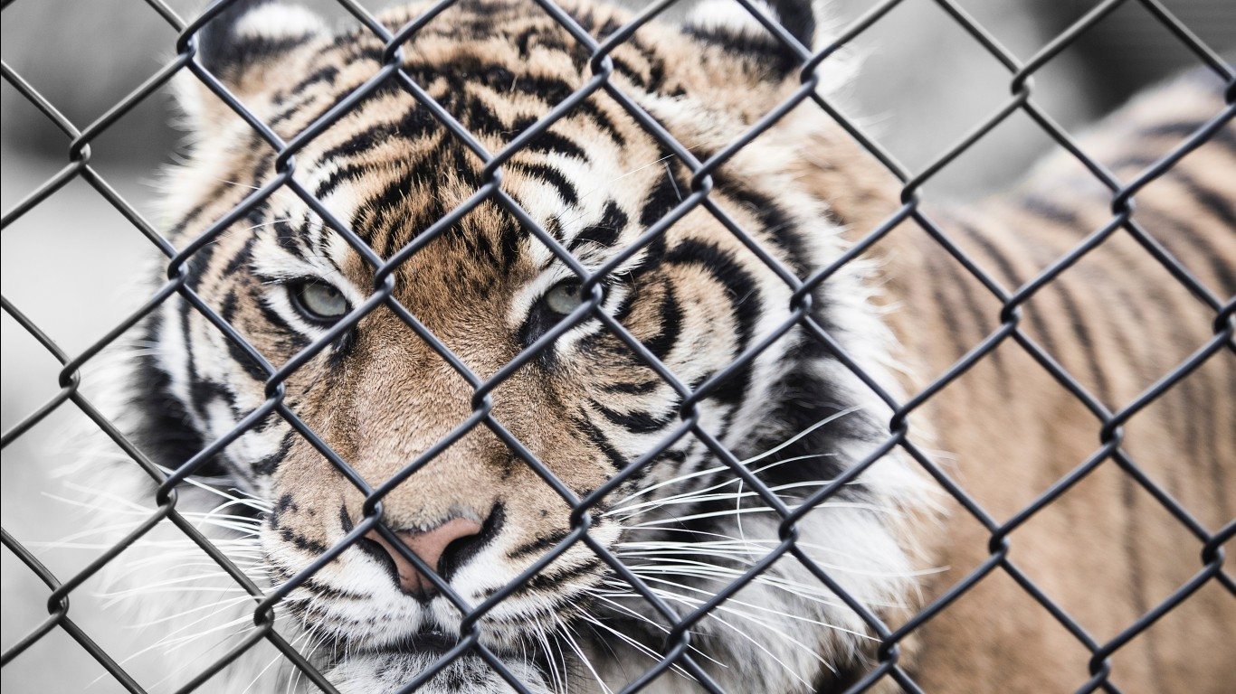 Bengal tiger hd images wallpapers 6
