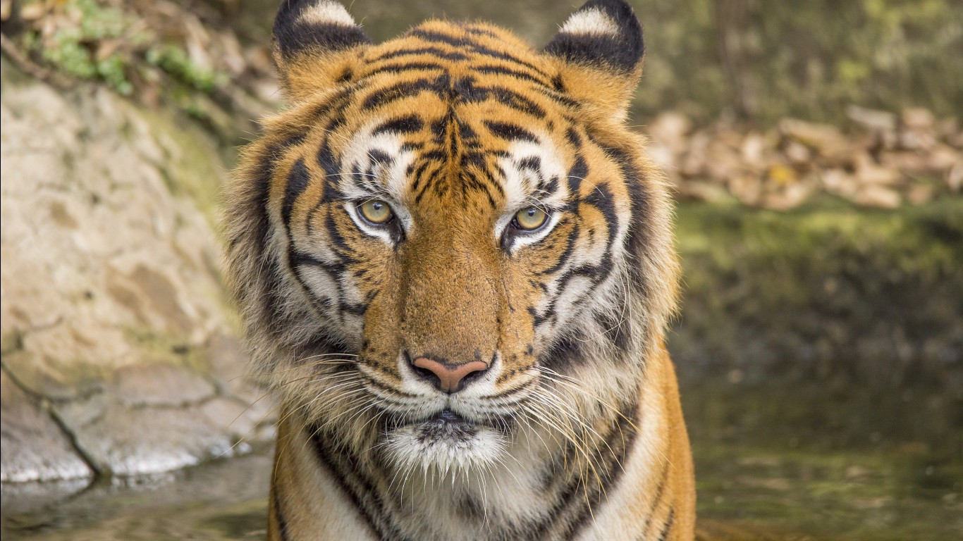 Bengal tiger hd images wallpapers 7