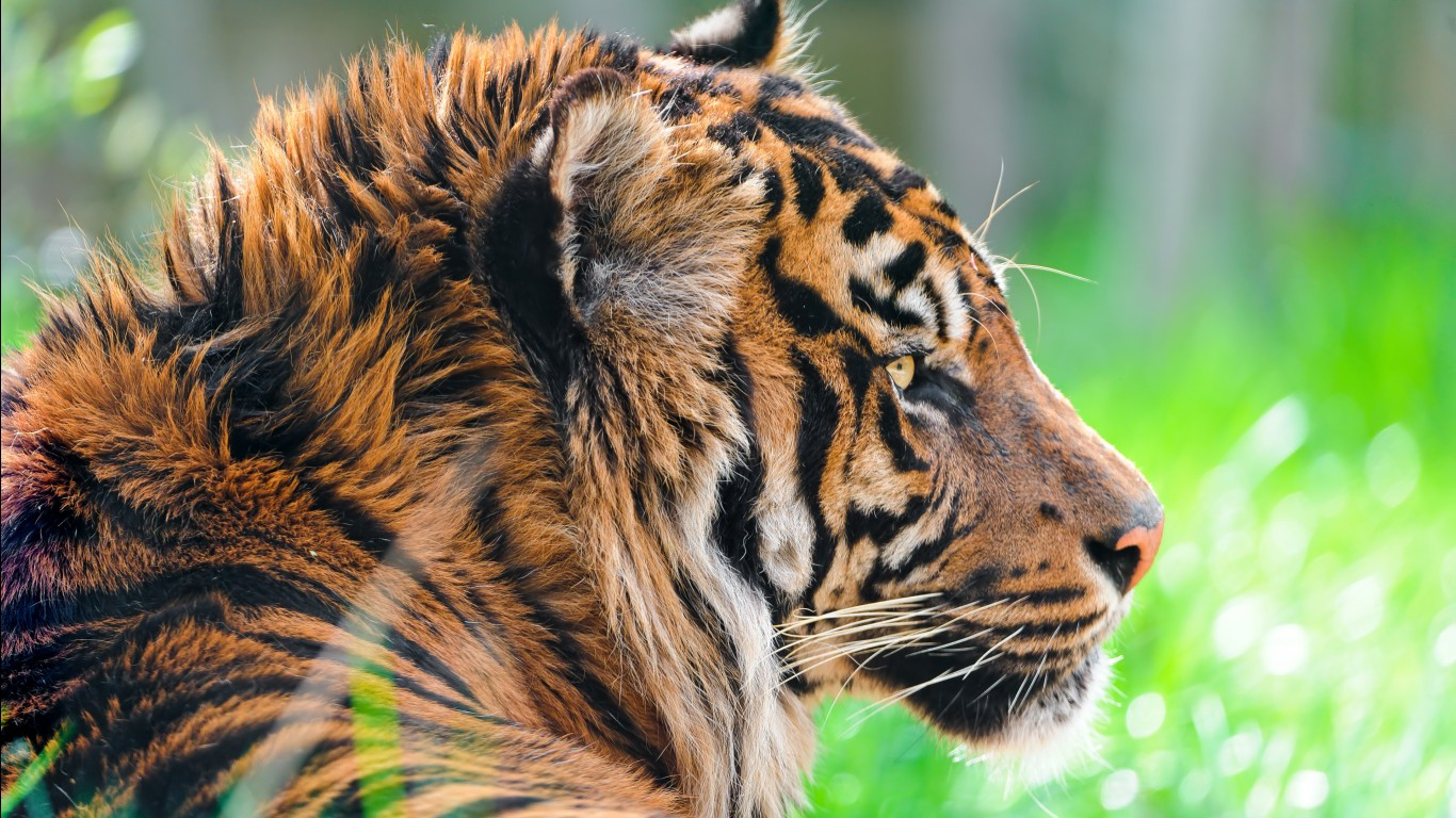 Bengal tiger hd images wallpapers 8