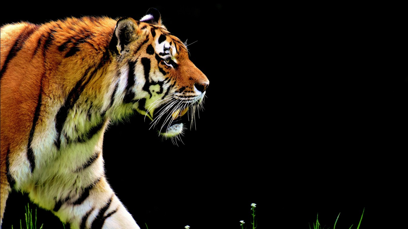 Bengal tiger hd images wallpapers 9