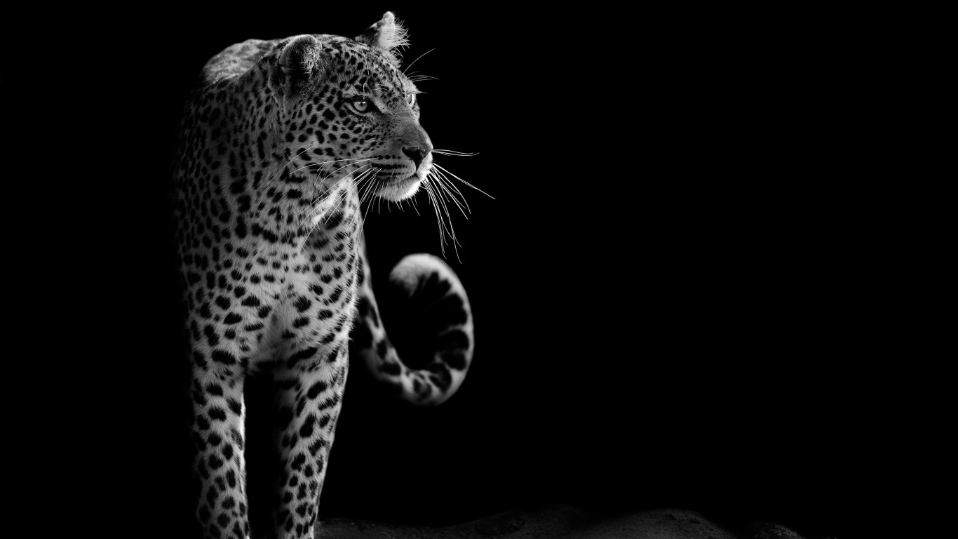 Leopard hd images wallpapers 1