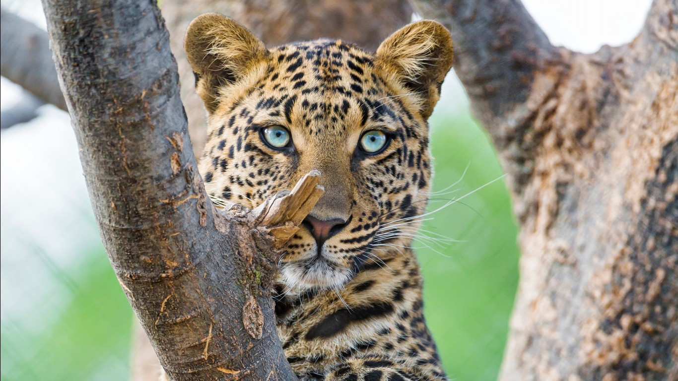 Leopard hd images wallpapers 2
