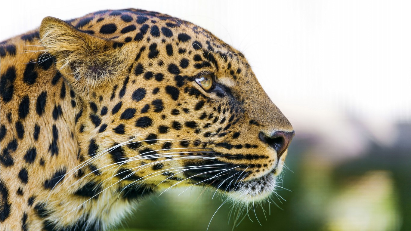 Leopard hd images wallpapers 3