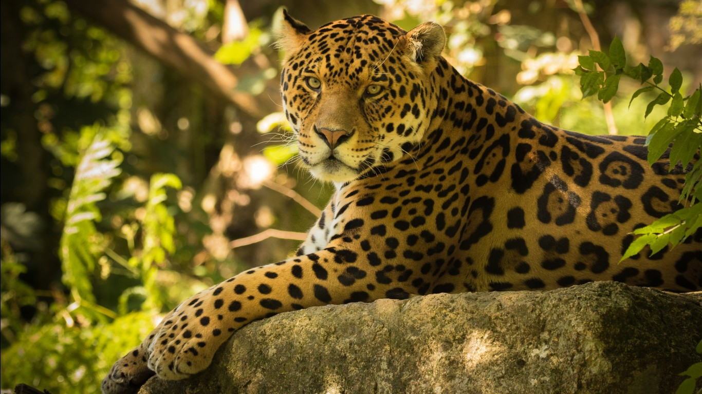 Leopard hd images wallpapers 4