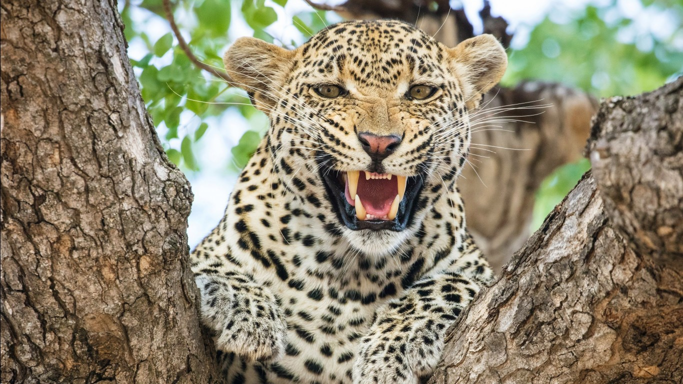 Leopard hd images wallpapers 6