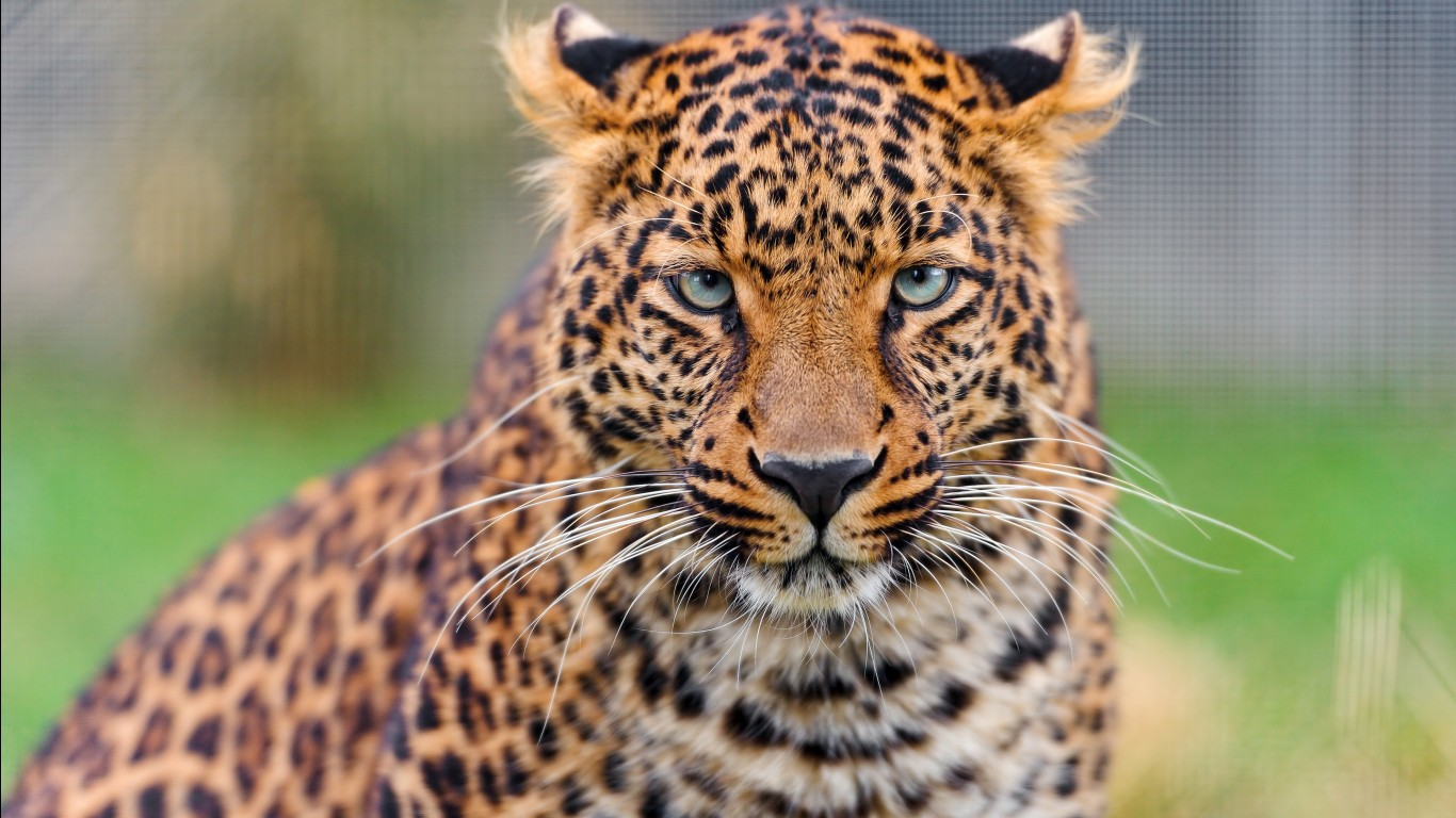 Leopard hd images wallpapers 7