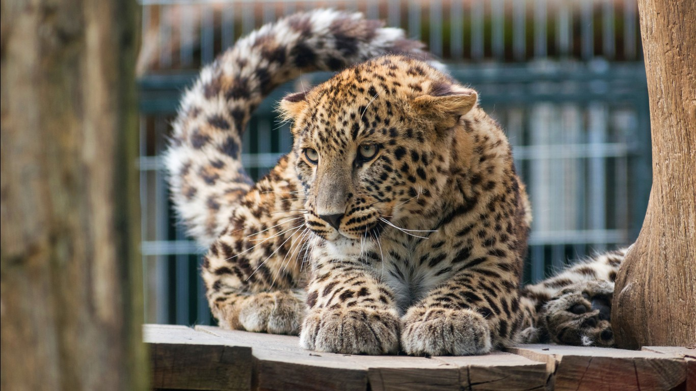 Leopard hd images wallpapers 8