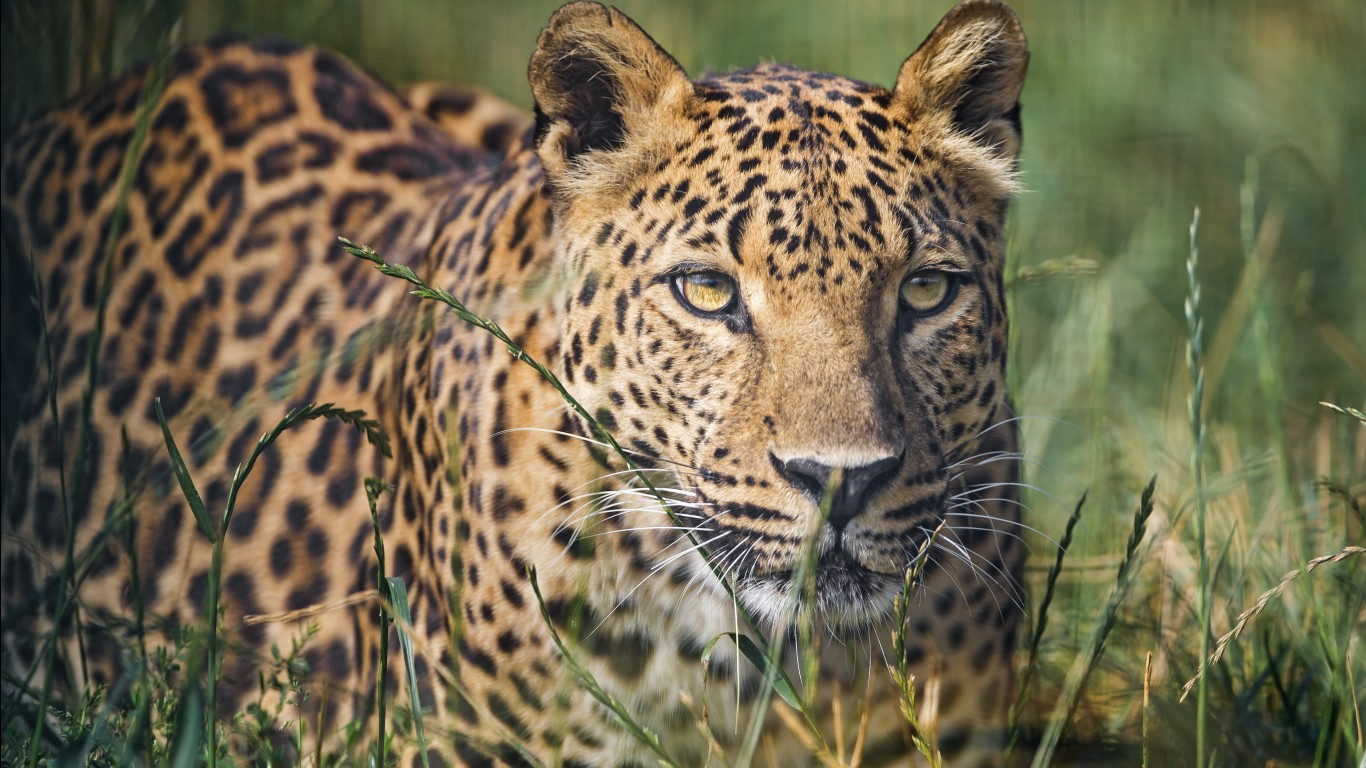 Leopard hd images wallpapers 9