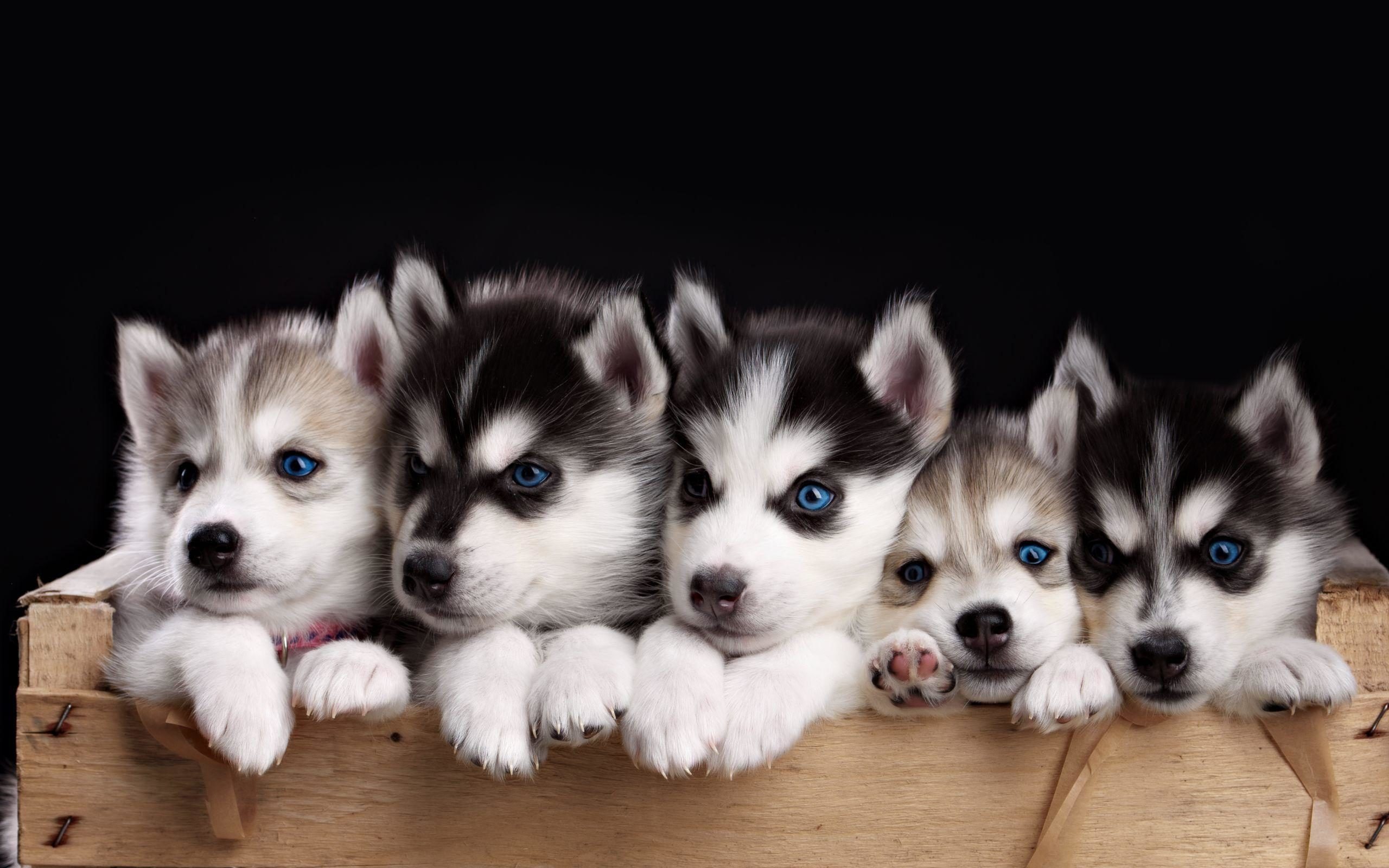 cute husky puppy pictures images 2