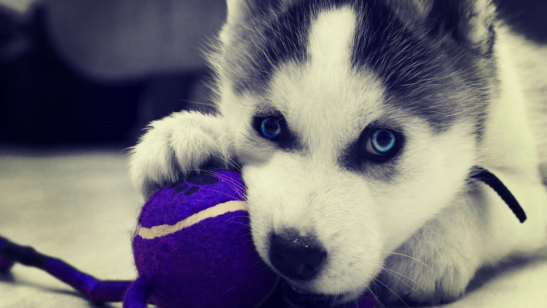 cute husky puppy pictures images 3