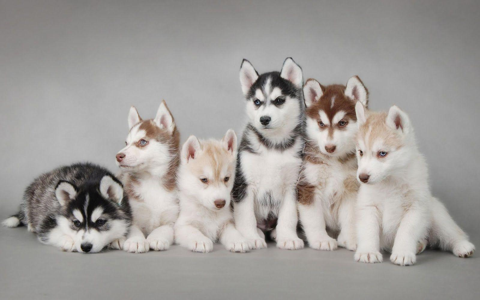 cute husky puppy pictures images 4