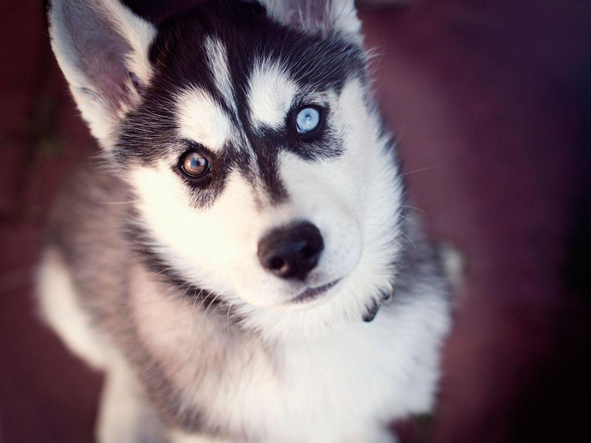 cute husky puppy pictures images 5