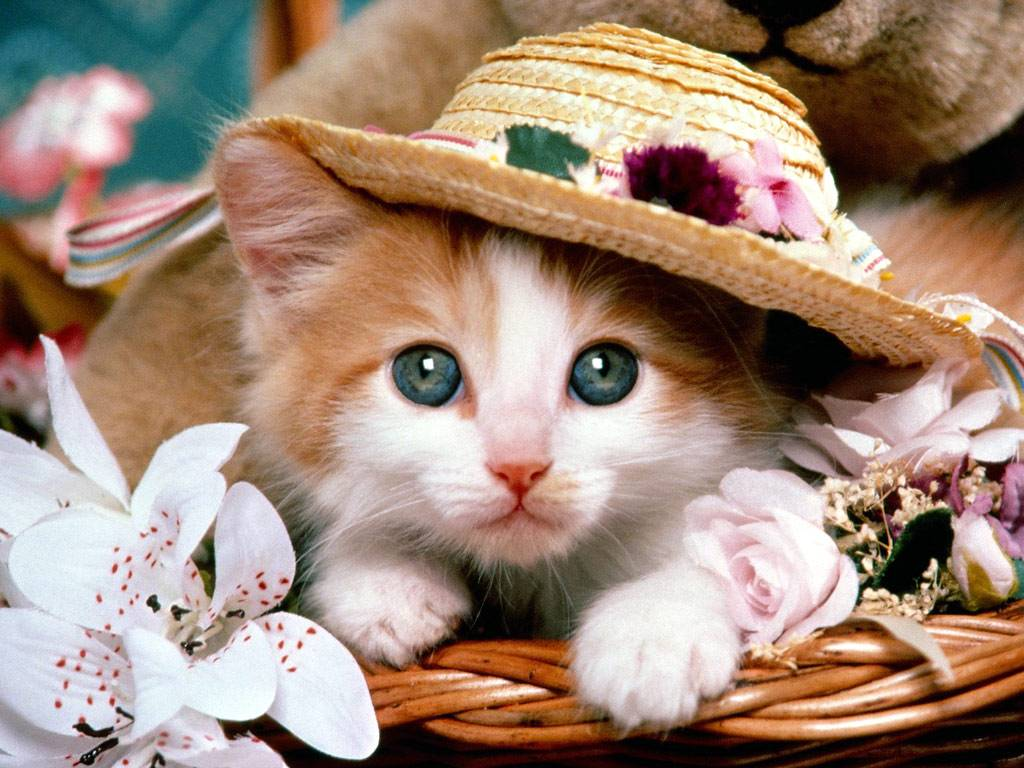 cute kitten wallpapers pictures hd 1